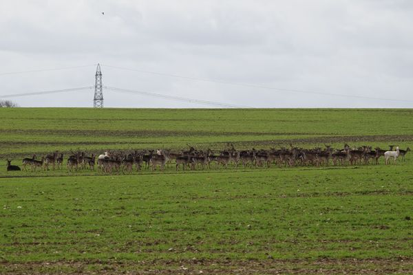 The whole herd: over 100 fallow deer