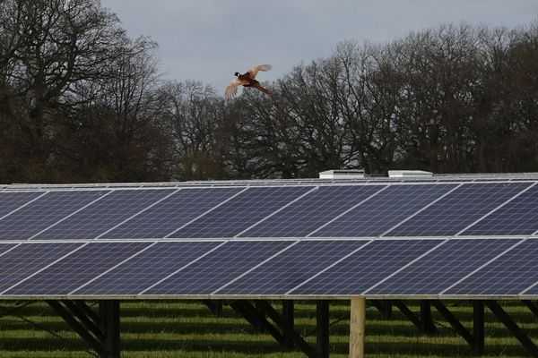 Solar panels with pheasant